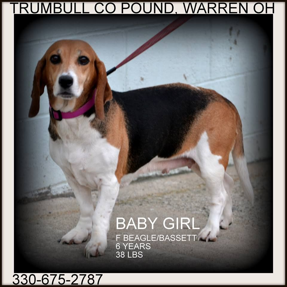 Ohio Urgent Baby Girl Is A Bagel Beagle Basset Mix She S A