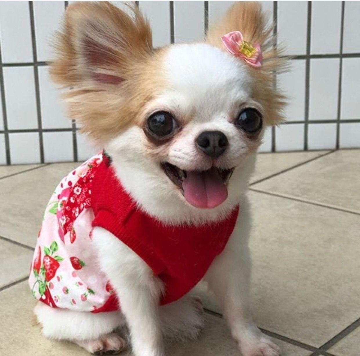 Chihuahua Chiwawa Chihuahua Dogs Cute Chihuahua Cutest Small