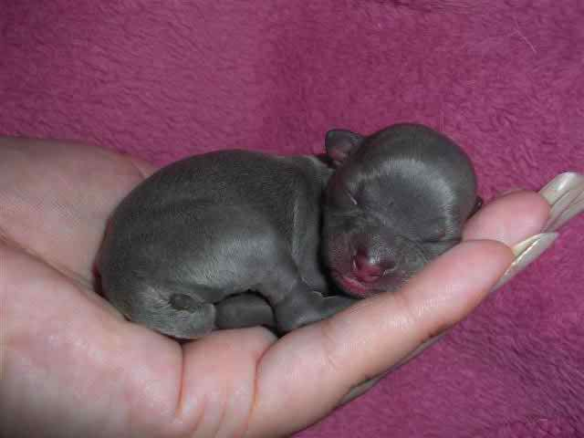 Just Born Chihuahua Puppy It Looks Awesome Chihuahua Puppies
