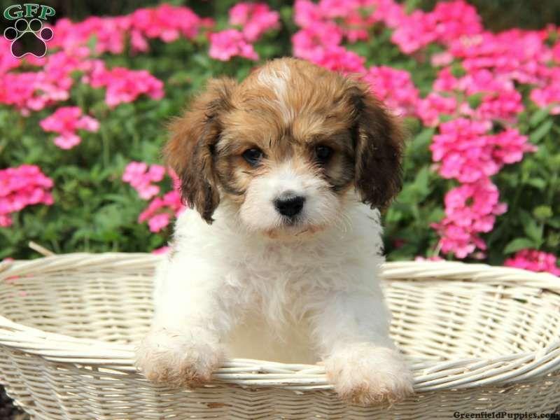 Rosie Cavachon Puppy For Sale From Narvon Pa Cavachon Puppies