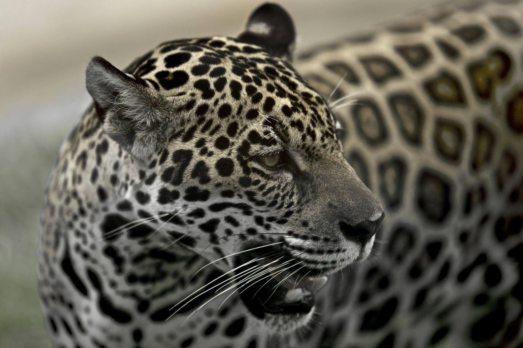 500px 上の Tiago Rodrigues の写真 Panthera onca