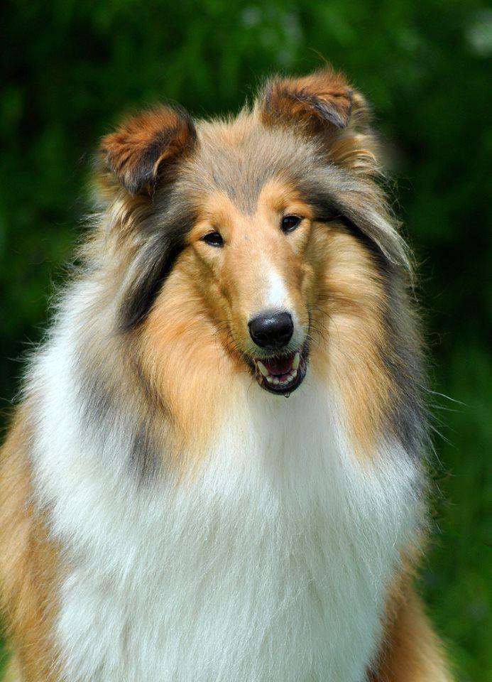 Rough Collie so beautiful (looks like my dog) WICANI