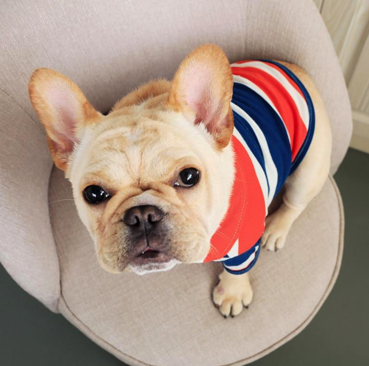 Going To A Fancy Party Or Out On The Town Get Your Frenchie Looking Sharp With This Adorabl With Images Blue And White Striped Shirt French Bulldog Clothes French Bulldog