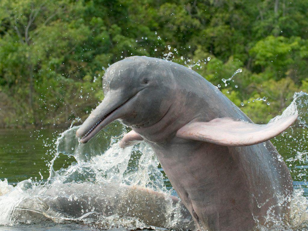 Amazon River Dolphin Ariau River Brazil Animals Amazon River