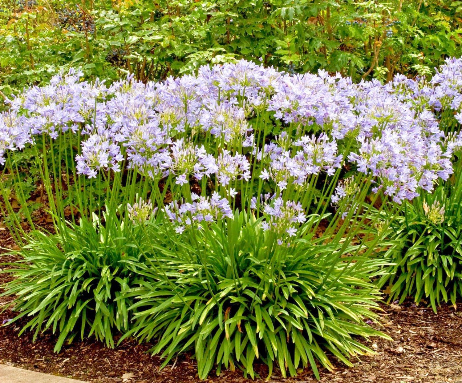 LILY OF THE NILE PERENNIAL  DEER RESISTANT 20 AGAPANTHUS WHITE FLOWER SEEDS