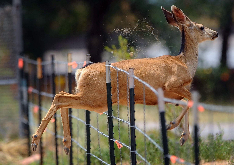 Un ciervo salta a través de una valla a lo largo EE.UU