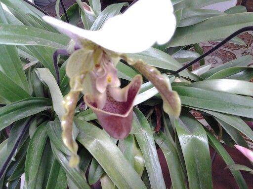 Minha orquidea sapatinho de princesa está florida e muito bonita, esta é apenas uma, no vaso tem 10.