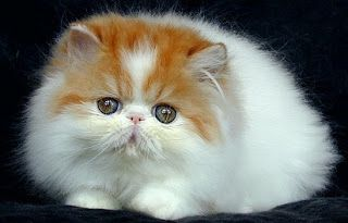 Cara Merawat Kucing Anggora Untuk Pemula Memandikan Kucing Anggora