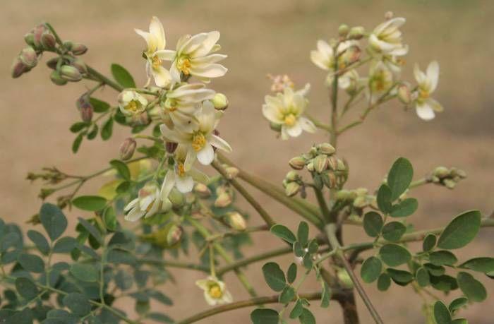Como se prepara el te de moringa en hojas