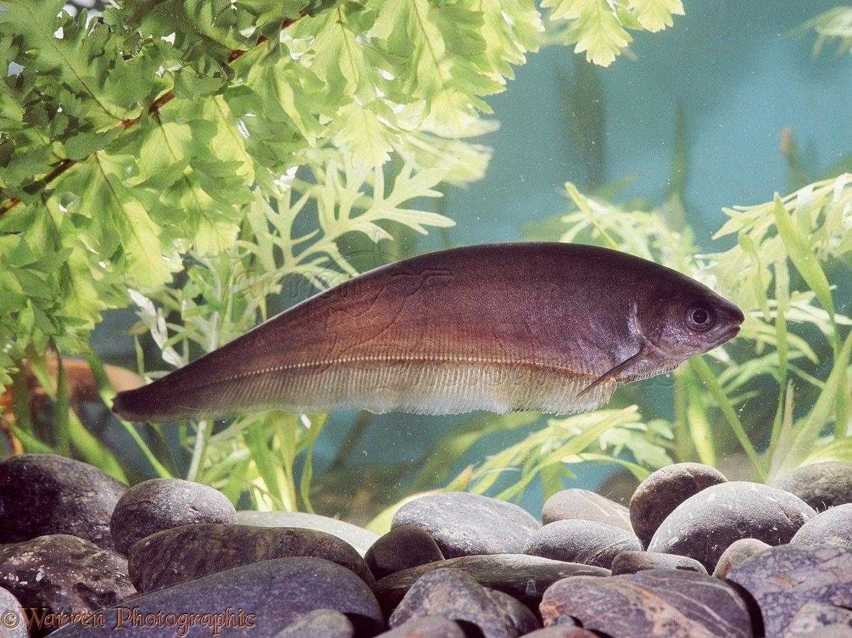 African Knife Fish | African Knife Fish | Aquatic Life || TAG ...