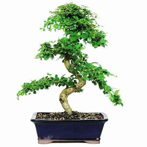 Ginseng Grafted Ficus Bonsai Trees In The Garden Bonsai Fukien