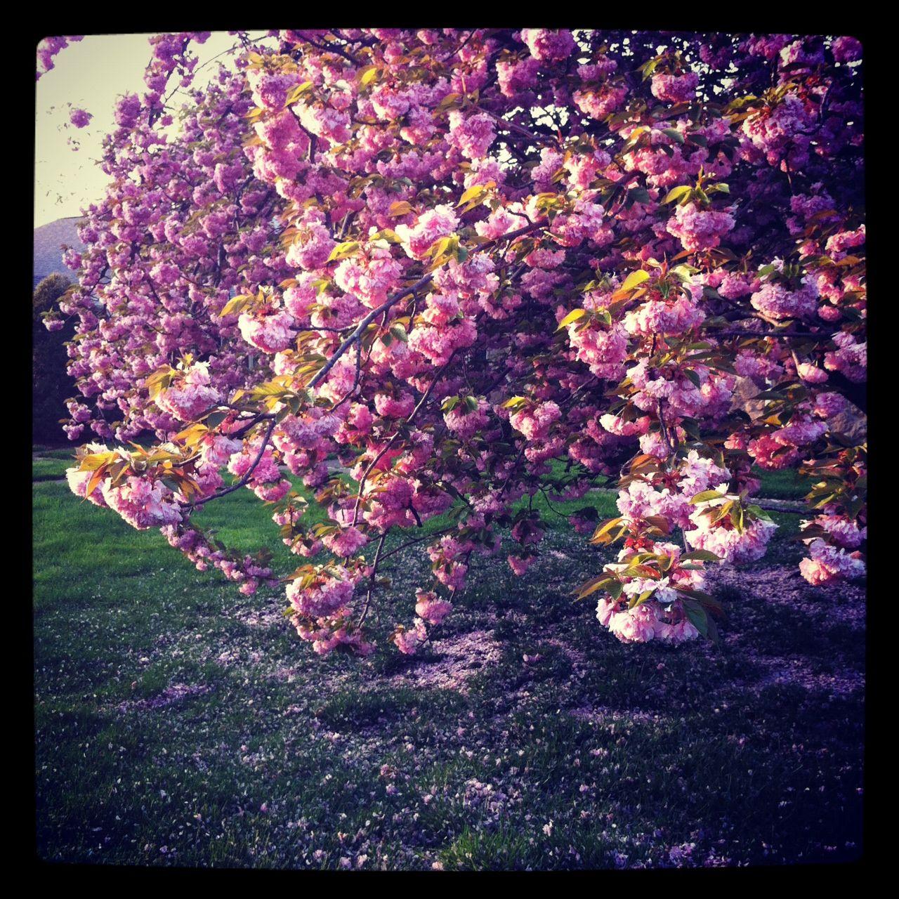 Pink Flower Trees In Kentucky Pretty Trees Flowering Trees Pink Flowers