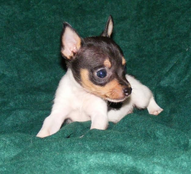 Baby Toy Fox Terrier Omg Dieing From The Cuteness Hope My