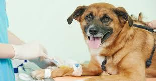 Donatori a quattro zampe, si moltiplicano le storie a lieto fine con Dog Blood…