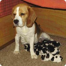 Beagles Are Born In A Variety Of Colours And Markings In The Same
