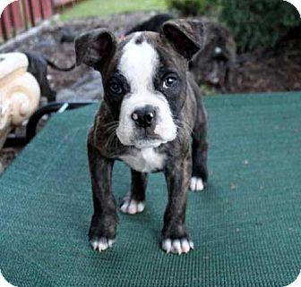Andover Ct American Bulldog Boston Terrier Mix Meet Puppy