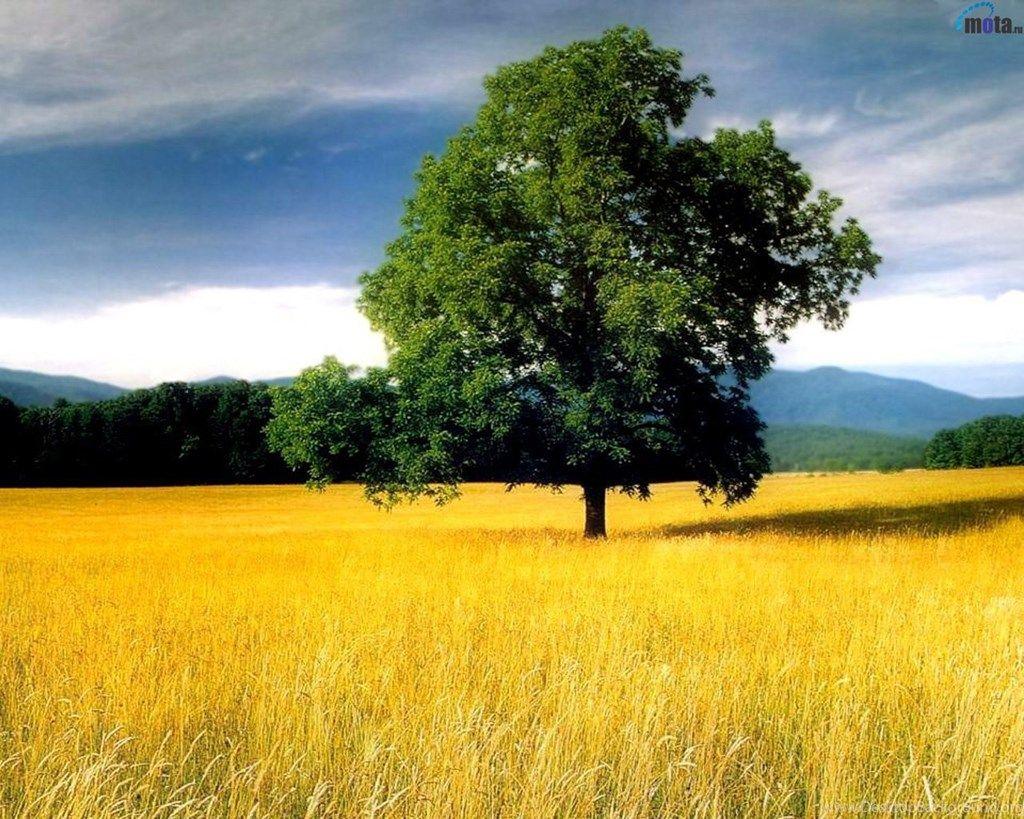 Download Wallpapers Tree Yellow Field Oak Lone Oak Tree
