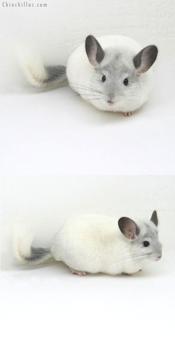 Show Quality White Mosaic Sapphire Carrier Female 850 00 Chinchilla Pet Chinchilla Cute Cute Animals