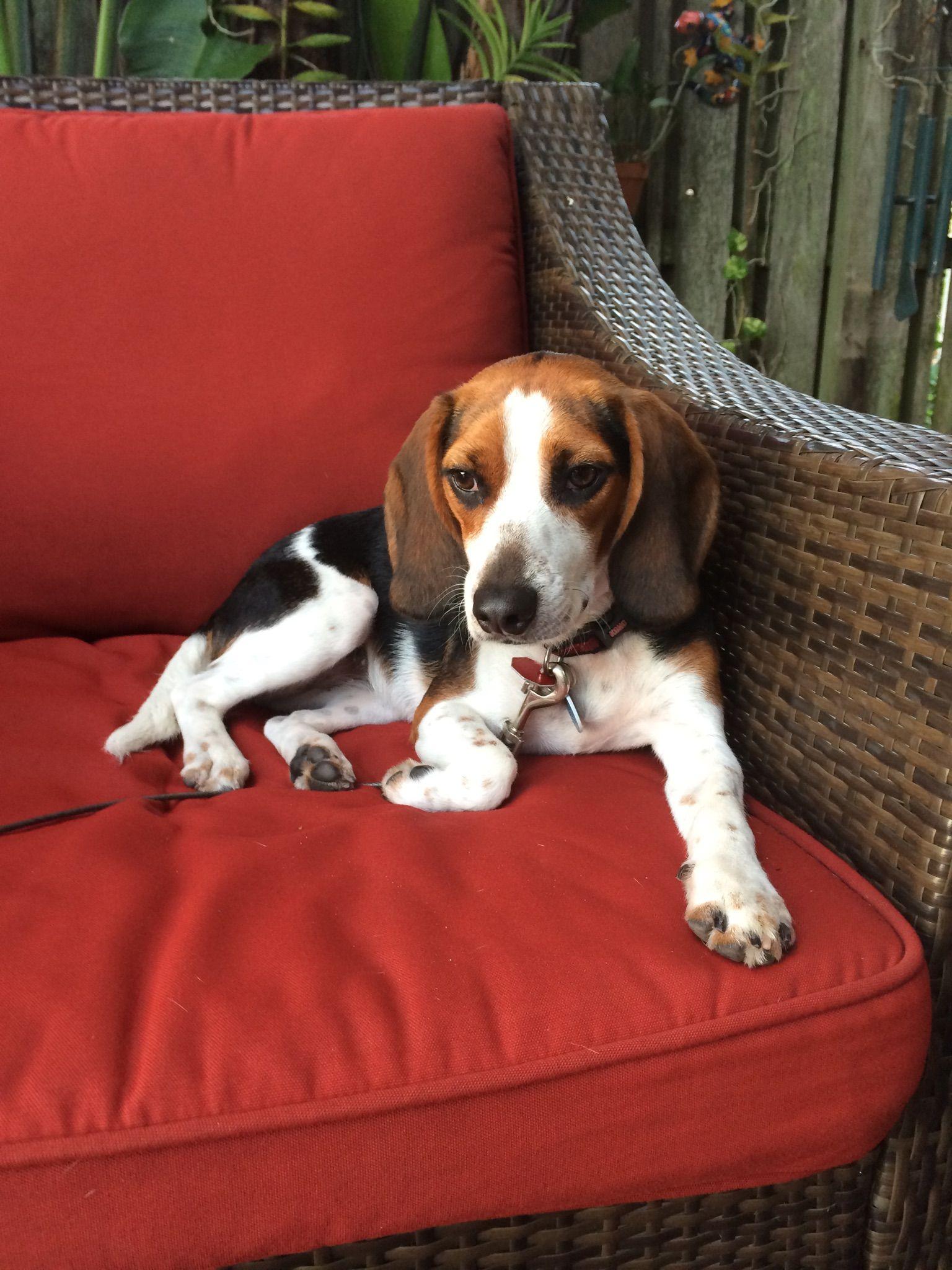 Enjoying The Florida Sun Xoxo Penny Beagle Dogs Animals