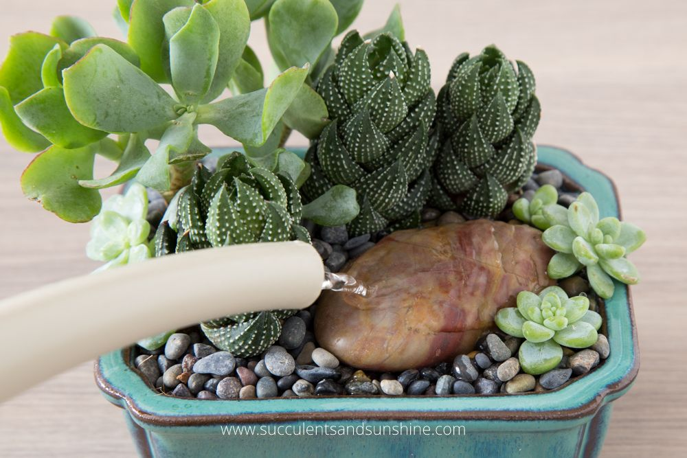 Caring For Succulents In Winter How To Water Succulents