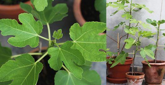 Guide til hvordan du laver dit eget figentræ og tips til at dyrke ...