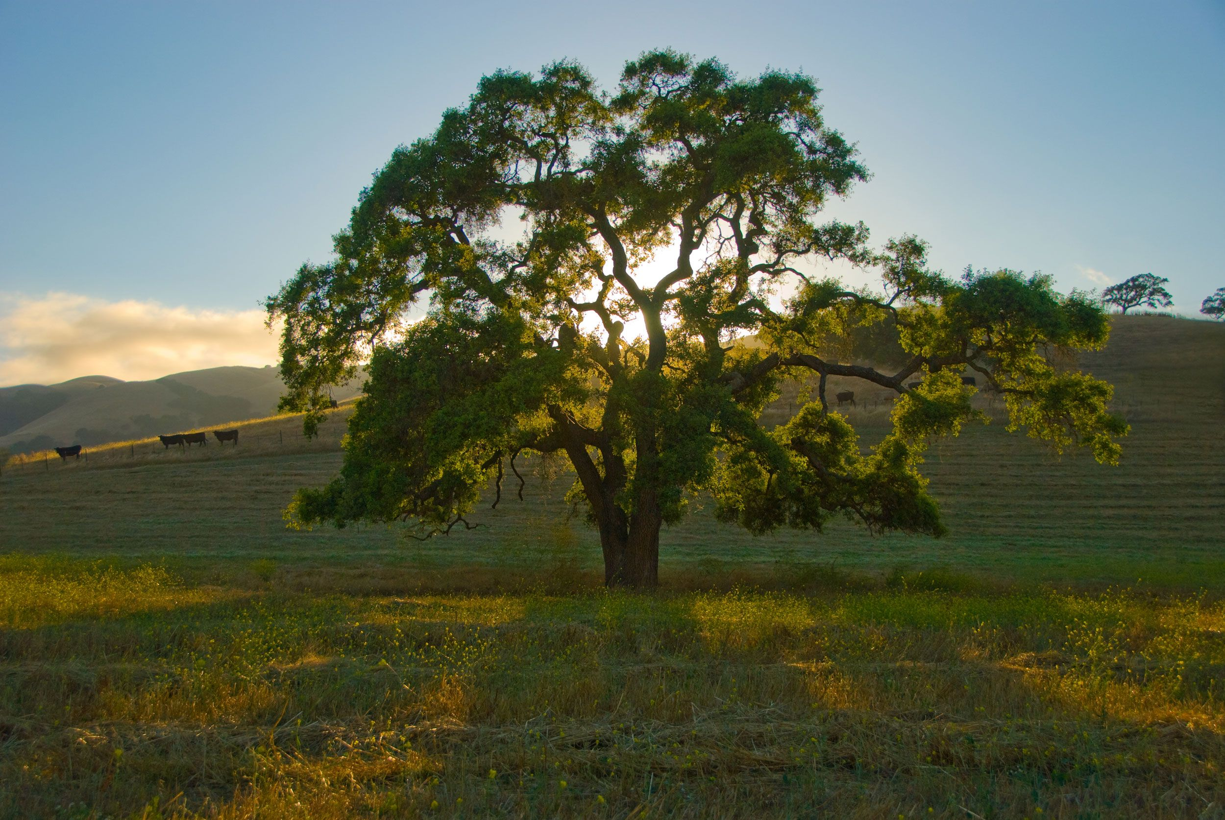 California Oaks Oak Tree Tattoo Landscape Photography Tree Painting