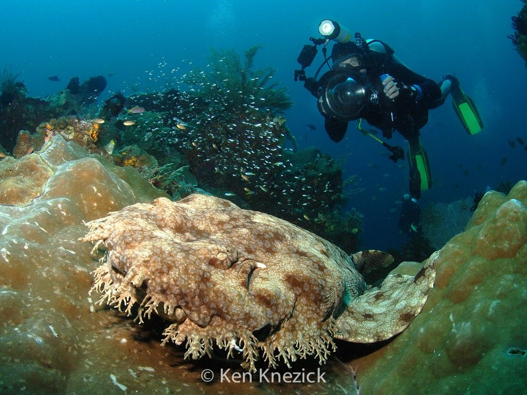 Photographing A Wobbegong Shark