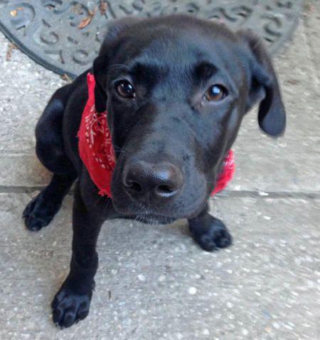 Harriet the Labrador Retriever Mix Black lab puppies