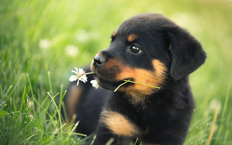 Cute Rottweiler Puppies Wallpaper Rottweiler Puppies Puppies Cute Animals