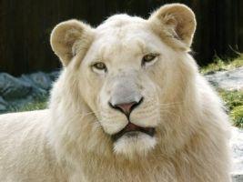 White Lion Fondo de pantalla de los gatos grandes animales