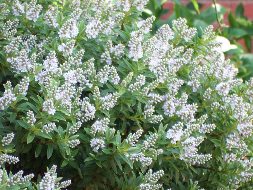 Hebe white gem a lovely small evergreen shrub with white flower in hebe white gem a lovely small evergreen shrub with white flower in the summer mightylinksfo