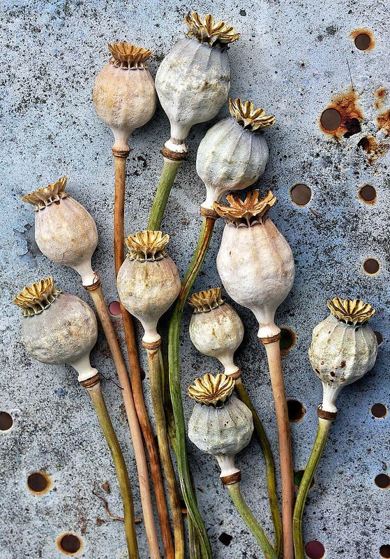 poppy seed pods - Google Search