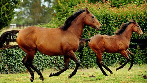 Helsinge (AUS) & her 2010 Redoute's Choice (AUS) filly, Belle Couture (AUS) (photo: Colleen Petch)