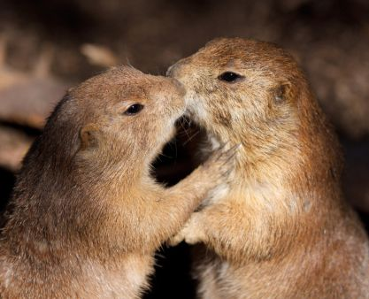 Check out these two cute prairie dogs greeting each other with a check out these two cute prairie dogs greeting each other with a kiss m4hsunfo