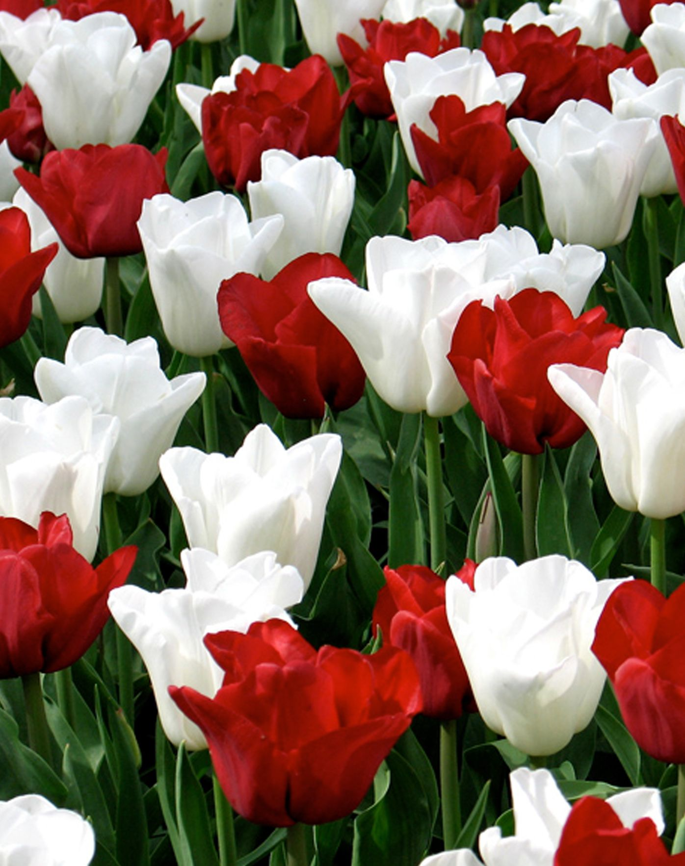 Flower bulbs r us retail bulbs at a bulk price flower power flower bulbs r us retail bulbs at a bulk price mightylinksfo