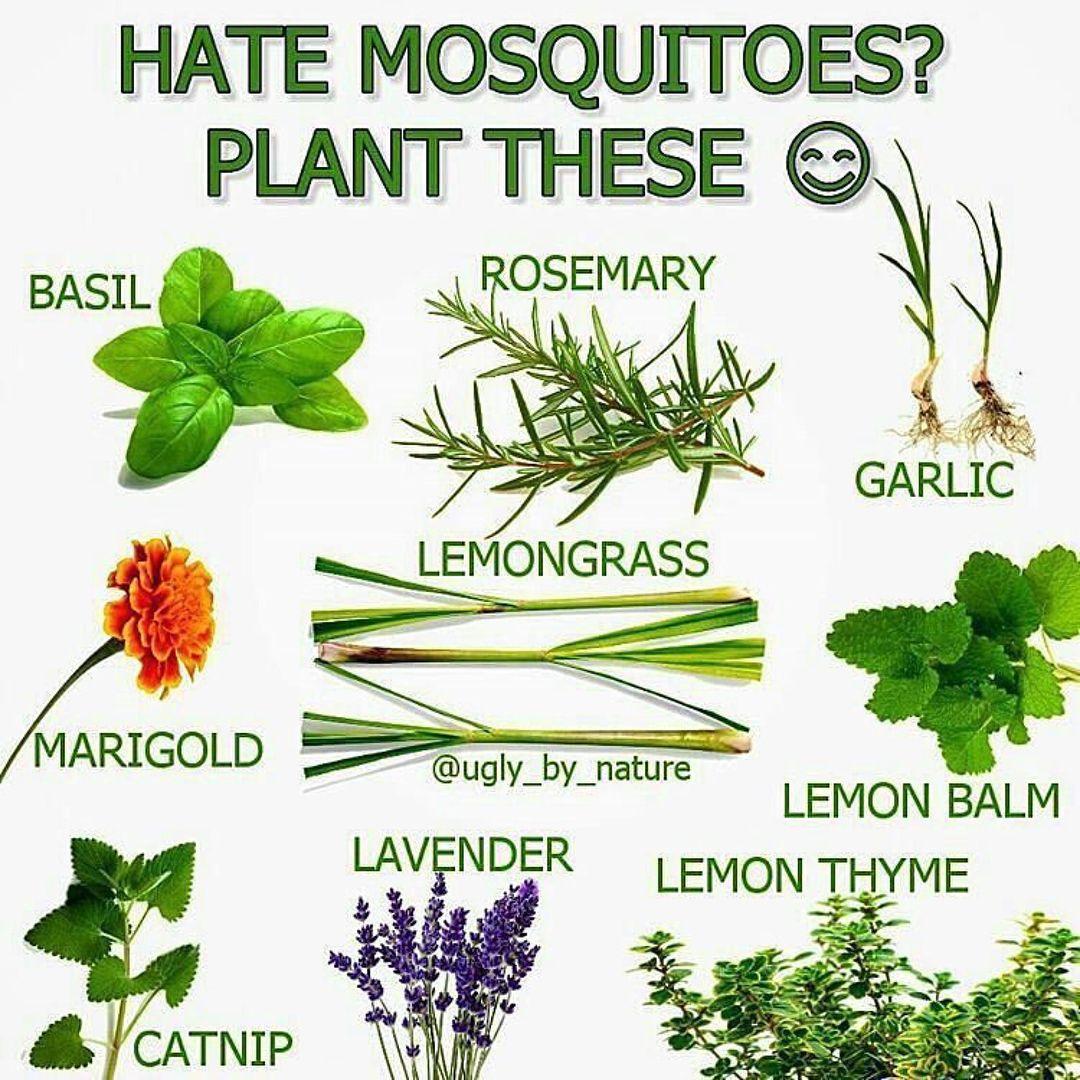 Mosquitorepellent Florida Mosquitoplants Citronella Gmomosquitoes Kidsplay Gardeningtips Gardeningidea Plants Mosquito Repelling Plants Mosquito Plants,How To Update Laminate Kitchen Cabinets