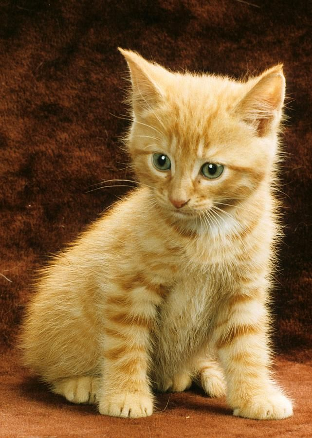 We Could Have The Same Model That Would Hold A Riding Crop Hold An Orange Tabby Kitten Too Since I M Sur Tabby Kitten Orange Orange Tabby Cats Orange Kittens