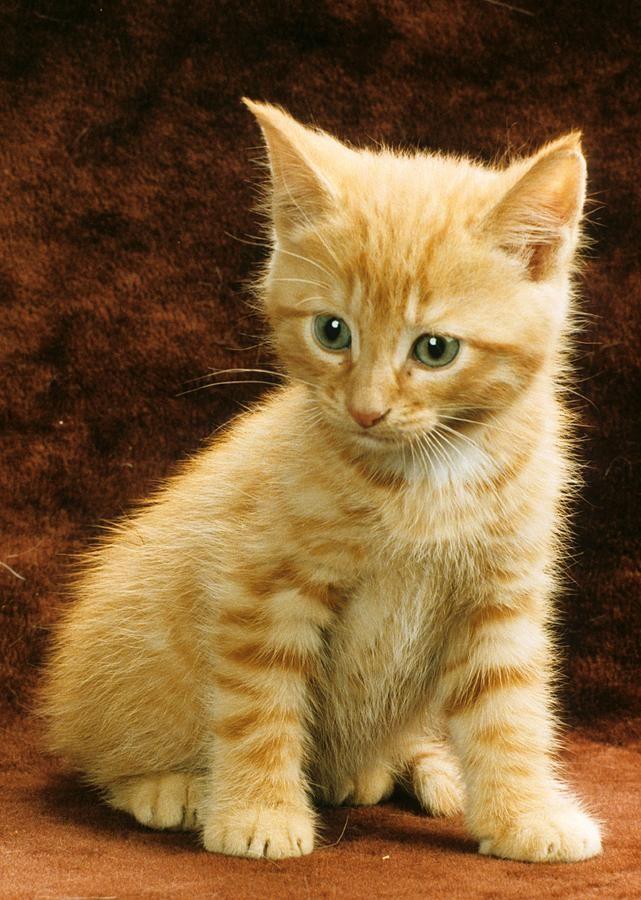 Orange Tabby Mixed Breed Kitten Photograph Kitties