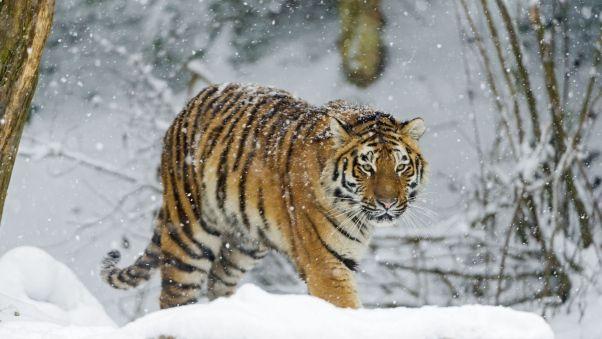 Wallpaper Tiger Snow Walk Predator Fotos