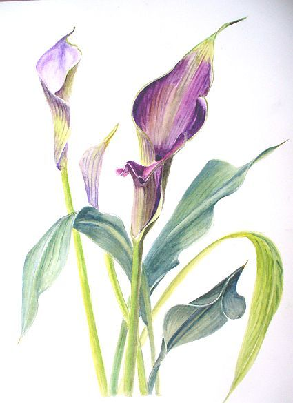 how to draw a realistic calla lily