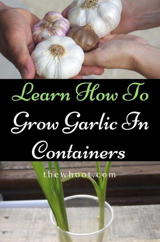 how to grow garlic in containers indoors video tutorial gardening indoor vegetable gardening. Black Bedroom Furniture Sets. Home Design Ideas