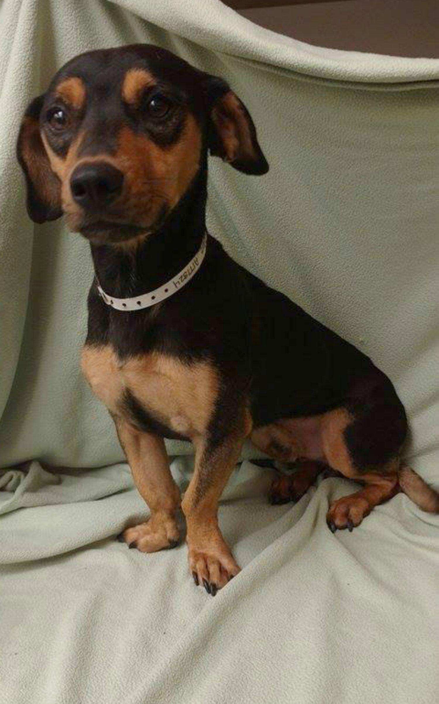 Basschshund Dog For Adoption In Redding Ca Adn 476037 On