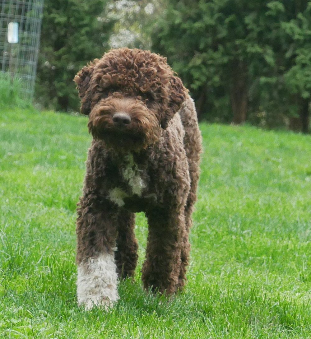 Grooming Lagotto Romagnolo Hypoallergenic Dog Breed Lagotto Romagnolo Lagotto Romagnolo Puppy