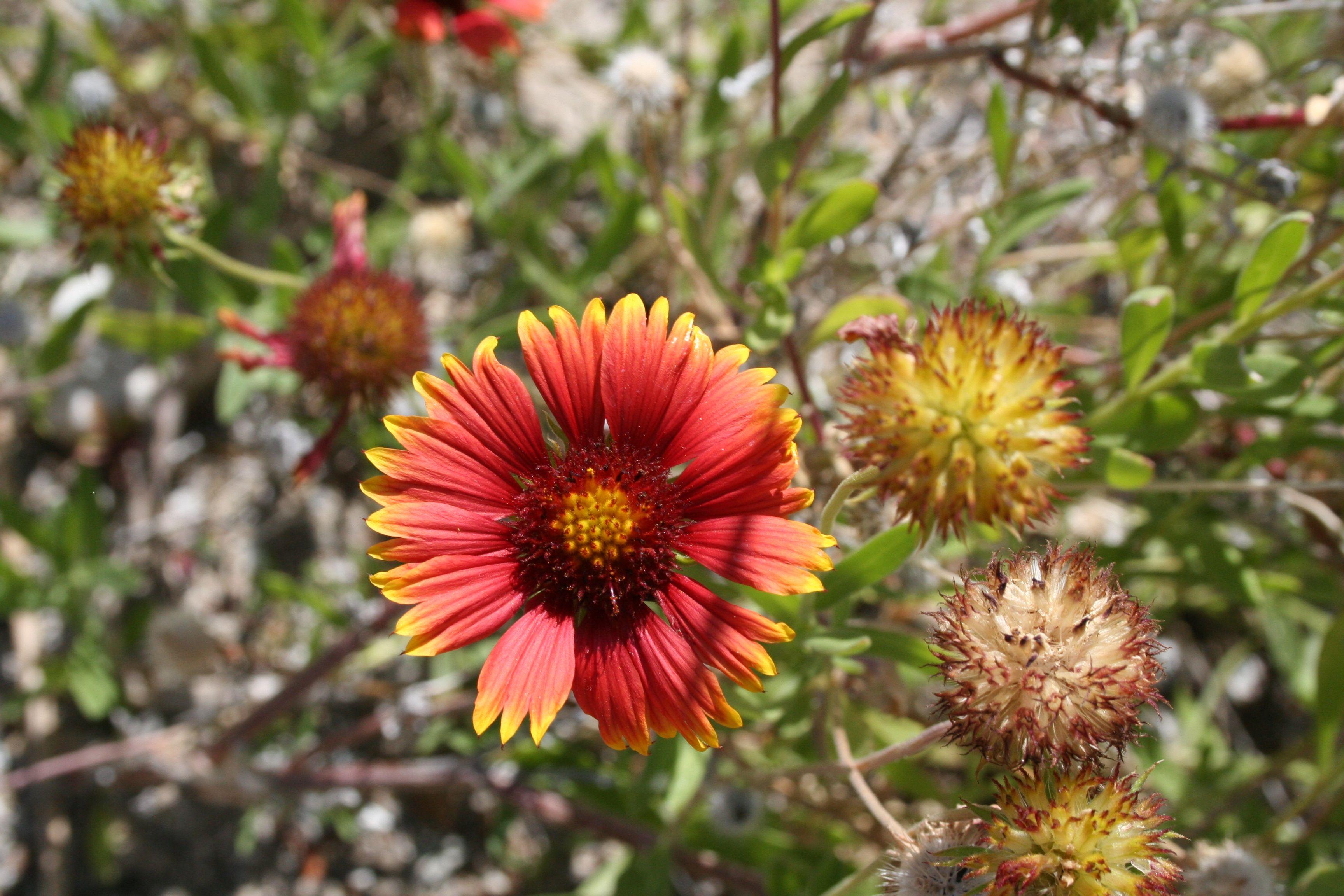 Wild Desert Flowers Palm Springs California Cactus Plants And