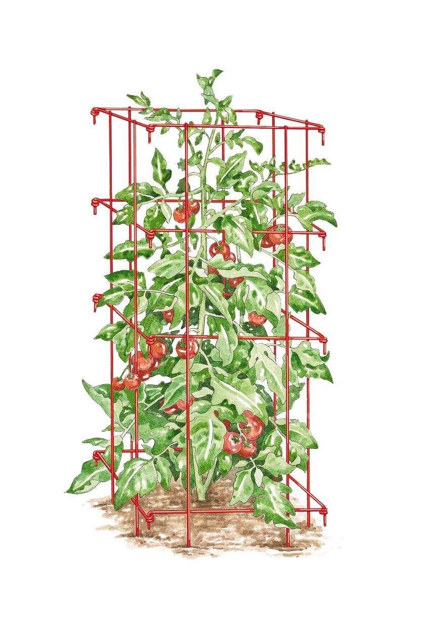 Entutorar Tomates Algunas Técnicas Caja De Tomate Plantas De Tomate Cultivar Tomates
