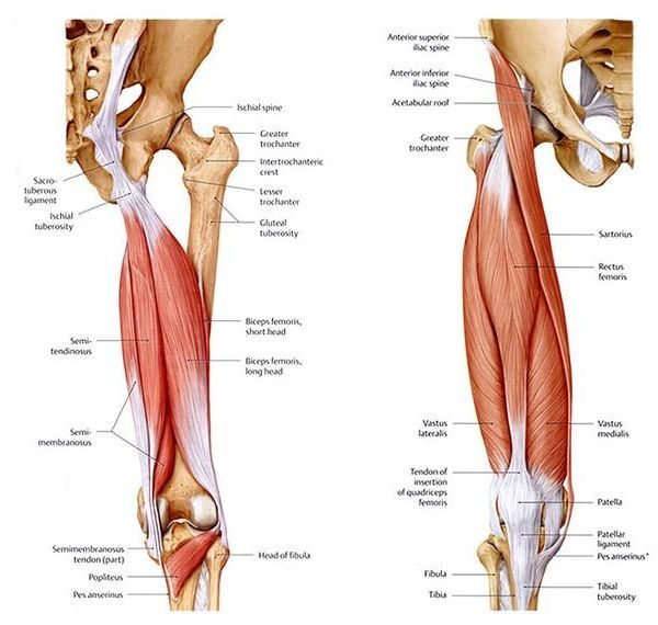 """The term """"pulled hamstring"""" or """"hamstring strain"""" is a common phrase ..."""