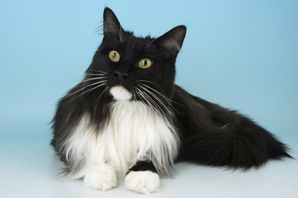 American Longhair Cat Black And White Coat Color Pets Blog