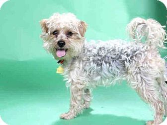 Maryland Heights Mo Yorkie Yorkshire Terrier Toy Poodle Mix Meet Lucio A Dog For Adoption Http Www Yorkie Yorkshire Terrier Dog Adoption Scruffy Dogs