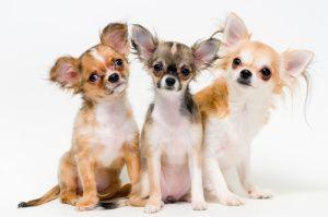 Anjing Ras Yang Populer Di Indonesia Anjing Chihuahua Anjing Binatang