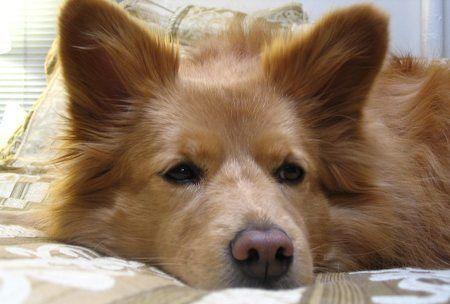 American Eskimo Chow Mix Puppy Chow Dog American Eskimo Dog
